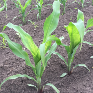 Indigenous corn rejuvenation from the phase of 6 to 8 leaves until thawing.