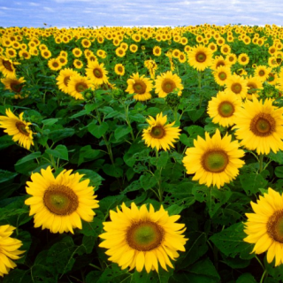 mineral-nutrition-sunflower