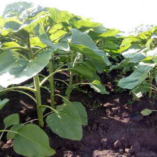 The second foliar application of sunflowers is the basis of high yields.