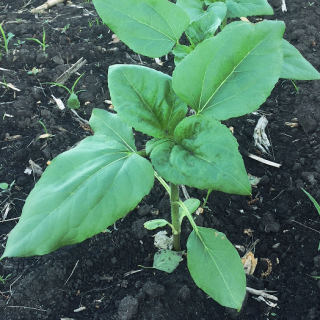 Feeding of sunflower into a phase of 3 - 5 pairs of leaves