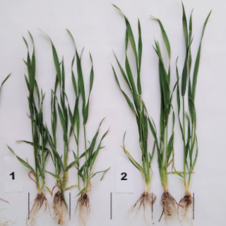 FOLIAR NITRITION OF CEREALS AT THE BEGINNING OF THE TUBE EXIT PHASE