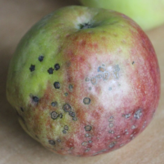 apple-bitter-pit-a-calcium-deficiency-physiological-disease