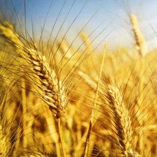 anthropogenic-seasoning-of-grain-cereal-crops-in-the-spring