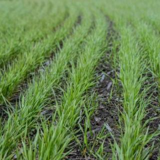the-first-foliar-nutrition-of-winter-cereals-in-spring-2020